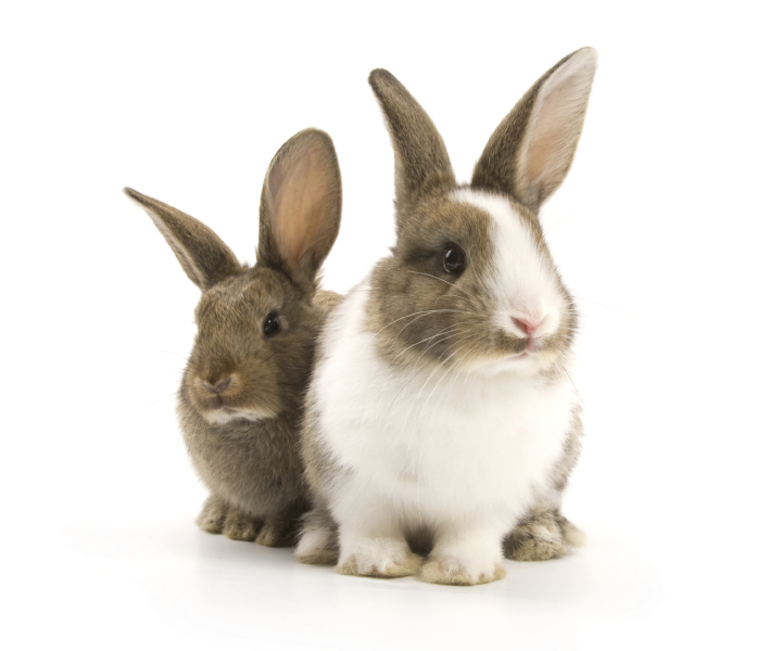 Two bunny rabbits